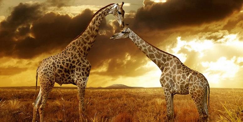 Tarih Sayfalarında Yolculuk Yapan Zürafanın Macera Dolu Serüveni - 1