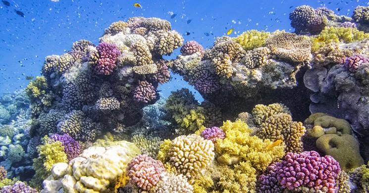 Pasifik'in Güneyinde Mercan Kaybında Rekor