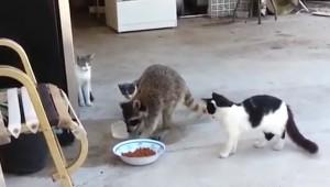 Kedilerin Mamasını Çalan Hırsız Rakun
