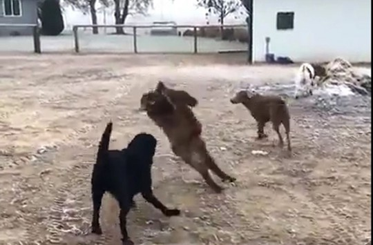 Bu Keçileri Görünce Gözlerinizden Yaş Gelecek