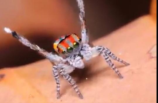 Dans Eden Örümceğin Hayran Bırakan Videosu