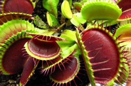 Gördüğü Her Canlıyı Anında Yiyen Etçil Bitkiler