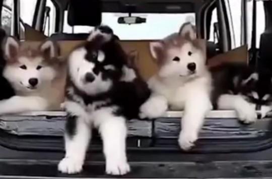 Müziğe Ritim Tutan Sevimli Köpekler