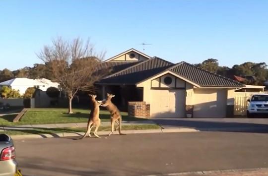 Bak Sen Şu Kangurulara! Resmen Boksör Gibiler