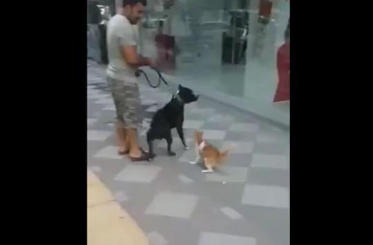 Bu Kedi Çıldırmış Olmalı! Boyuna Bakmadan Köpeğe Saldırdı