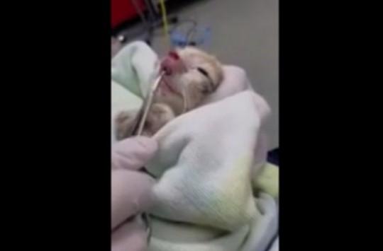 Burnu Şişen Kedinin Burnundan Çıkanlar Veterineri Şaşkına Uğrattı