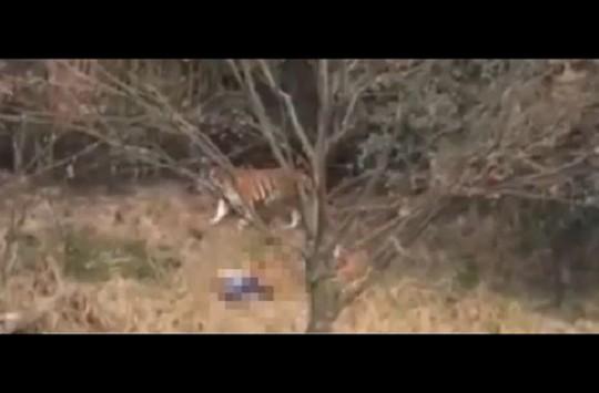 Hayvanat Bahçesindeki Kaplan Adama Saldırdı!
