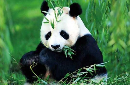 Bambu Yerken İnsanın İştahını Açan Sevimli Panda