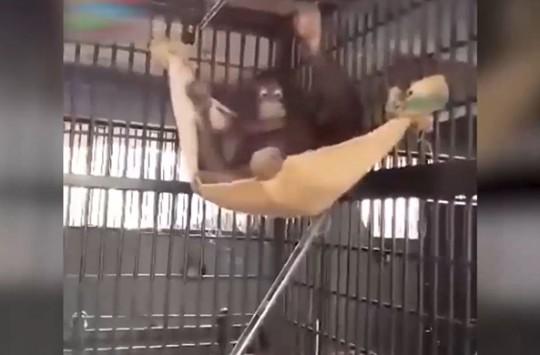Aldığı Kumaş Parçasıyla Kendine Hamak Yapan Şempanze