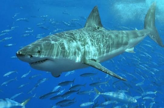 Suya Atlayış Yapan Adamın Köpekbalığı İle Kafa Kafaya Gelmesi!