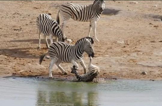 Erkek Zebranın Yavru Zebrayı Öldürmeye Çalıştığı Anlar