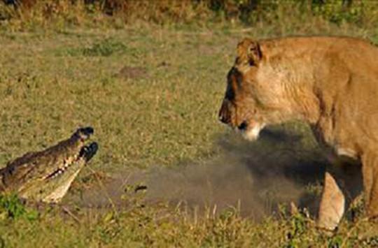 Aslanlara Saldıran Timsahın Hazin Sonu